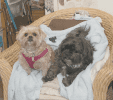 Right, Bandit Robbins (black dog) is the shop dog at Mary Charles' Dollhouse, and he is often visited by his daughter, Trinket Watts (blonde dog). Together, they like to greet customers and nap on the chair by the cash register.