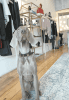 Rupert, left, a Weimaraner who will soon turn one year old, likes to hang out at Eleven Eleven on Saturdays. He is full of energy and always wants the customers of this women's clothing boutique to give him attention.