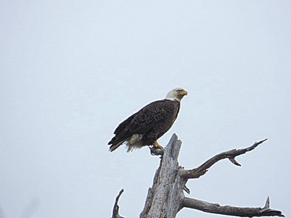 """We have three bald eagles. I always see them on my way to the mailbox."" - Christa Salter"